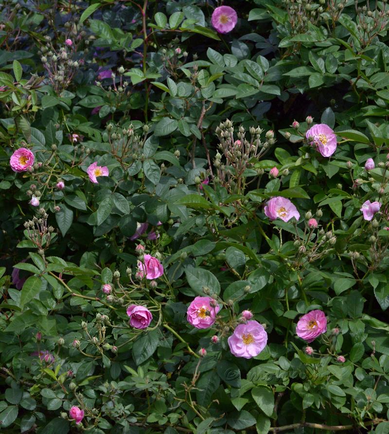 The wild rose!