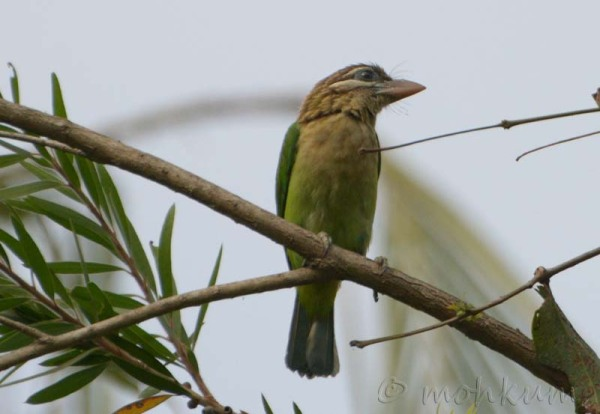 The barbet!