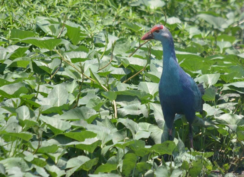 The Purple Swamphen!