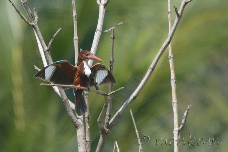 The White-throated Kingfisher