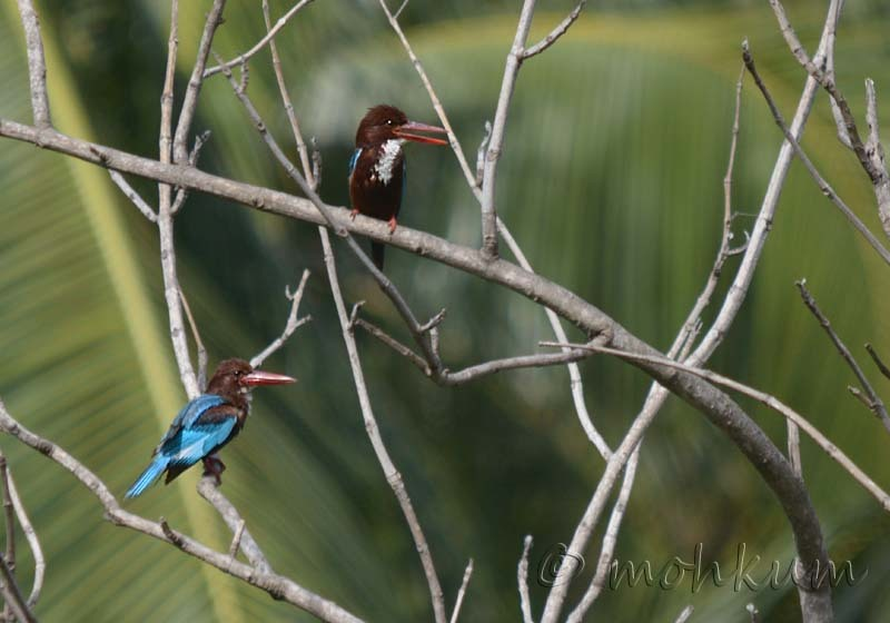 The two Kingfishers!