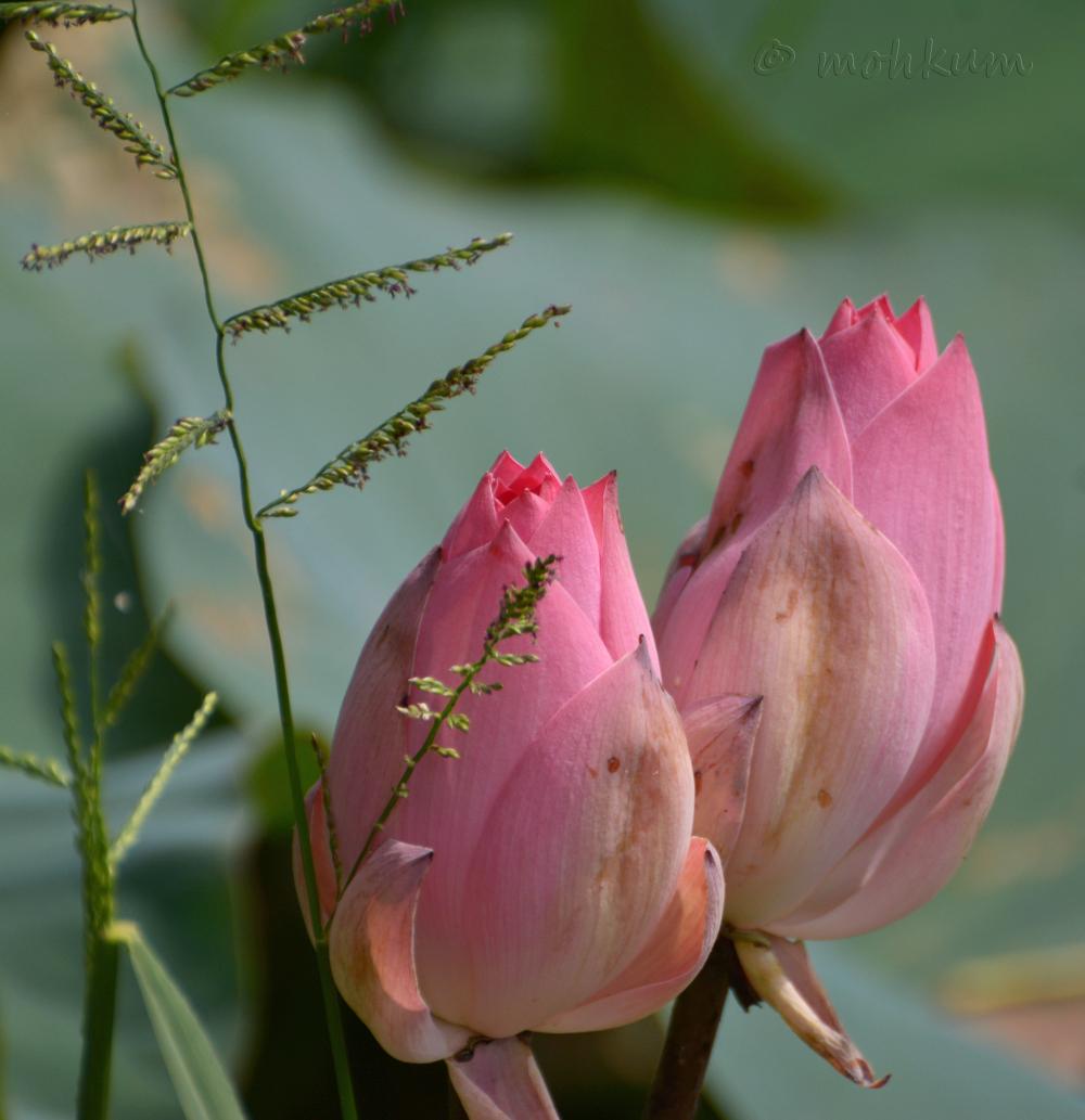 The budding pink lotus!