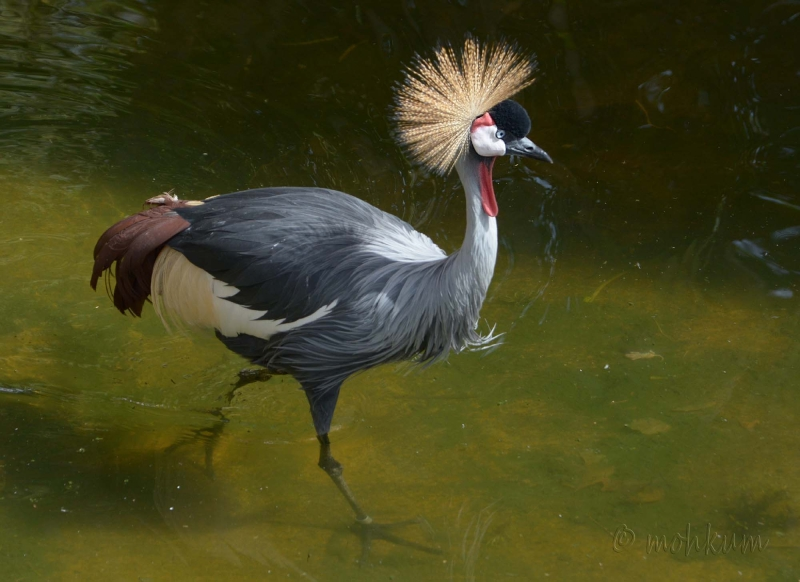 The Grey Crowned Crane!