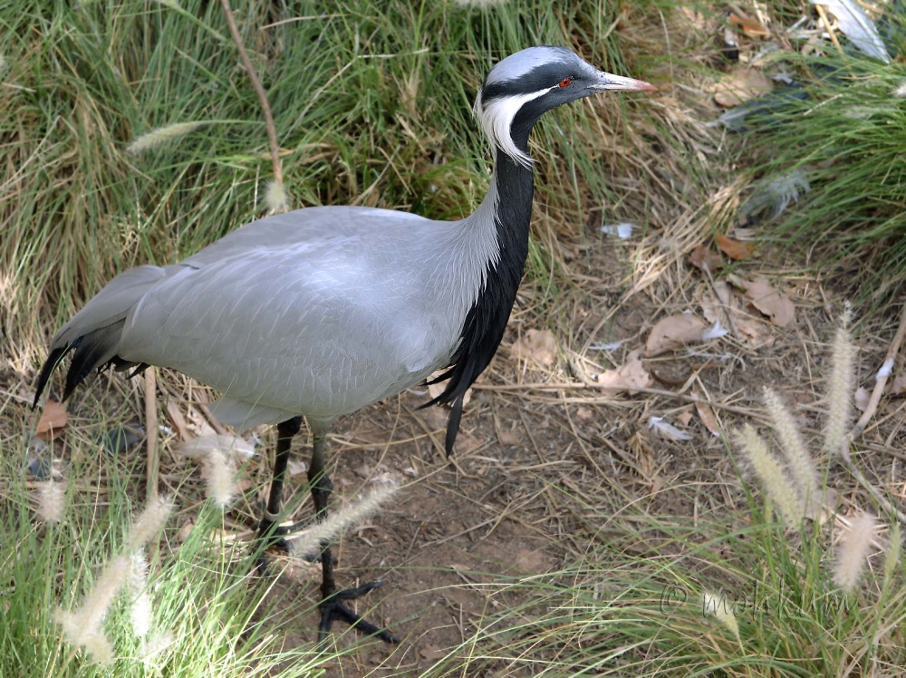 The Demoiselle crane!