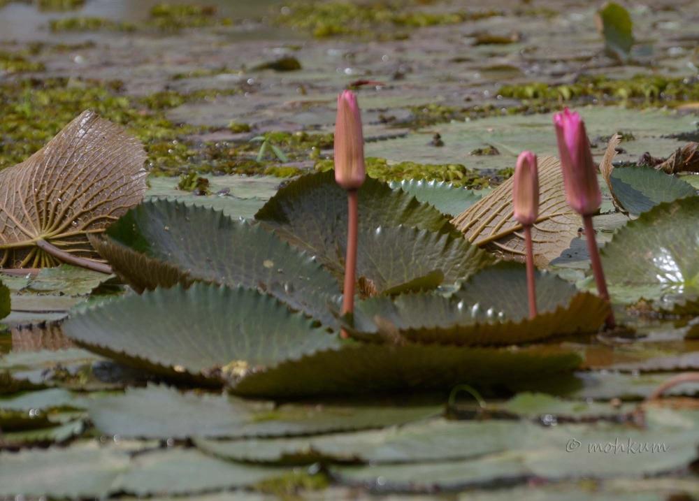 The Lotus!