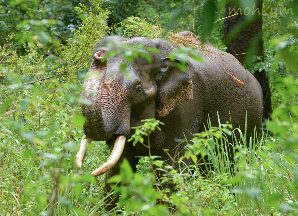 elephant wild grass forest tholpetty wayanad keral