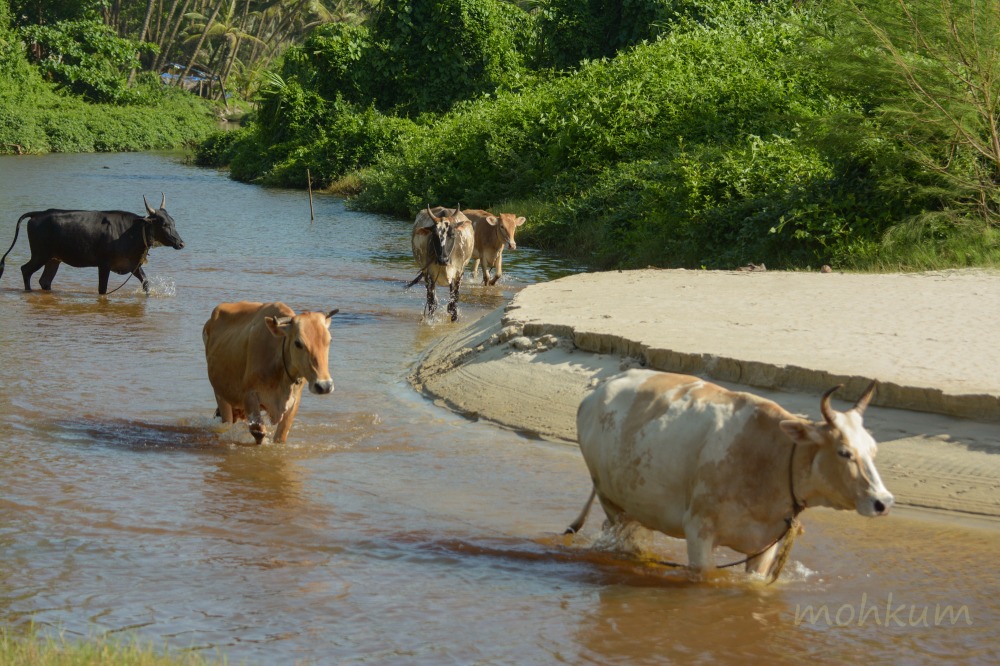 The cattle crossing the river!