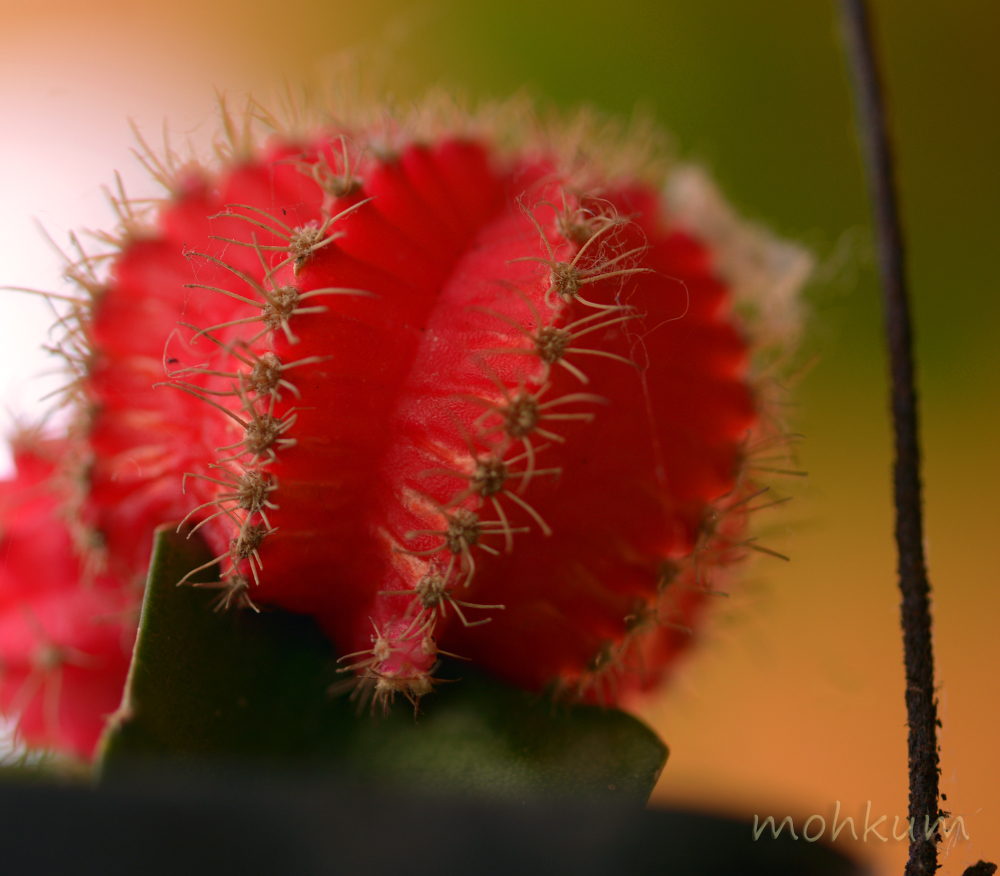 The Red Cactus flower!