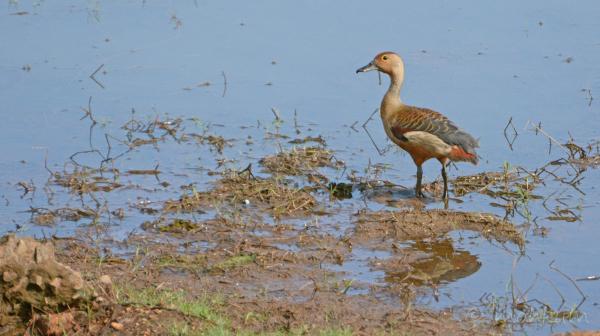 Lesser Whistling Duck!