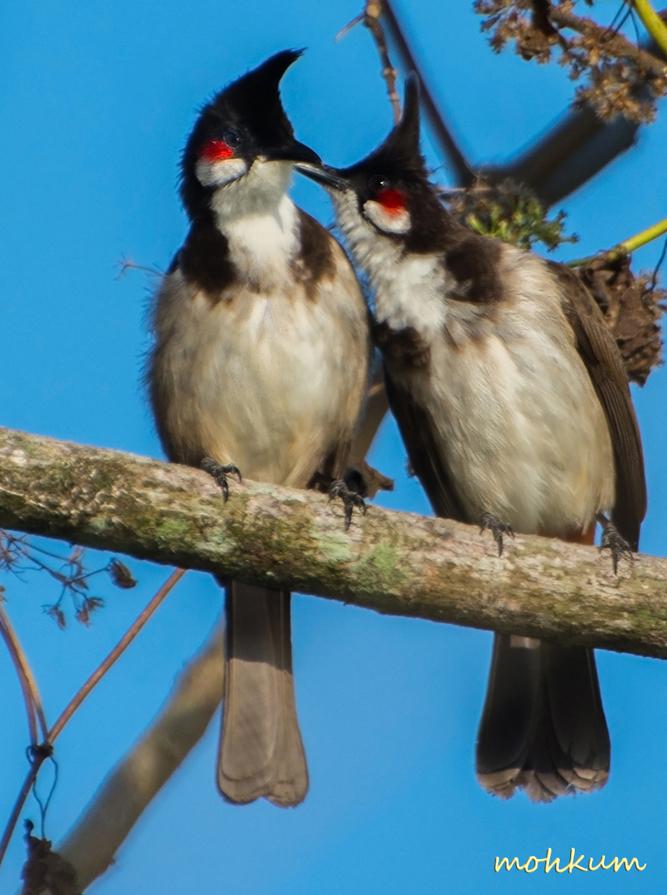 birds bulbul pair love thattekad