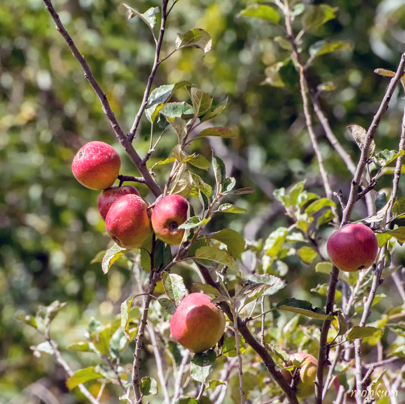 apple tree utharakhand
