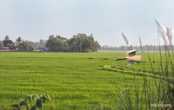 farm rice alleppey