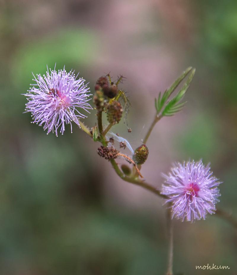 mimosa pudica thottavadi flower