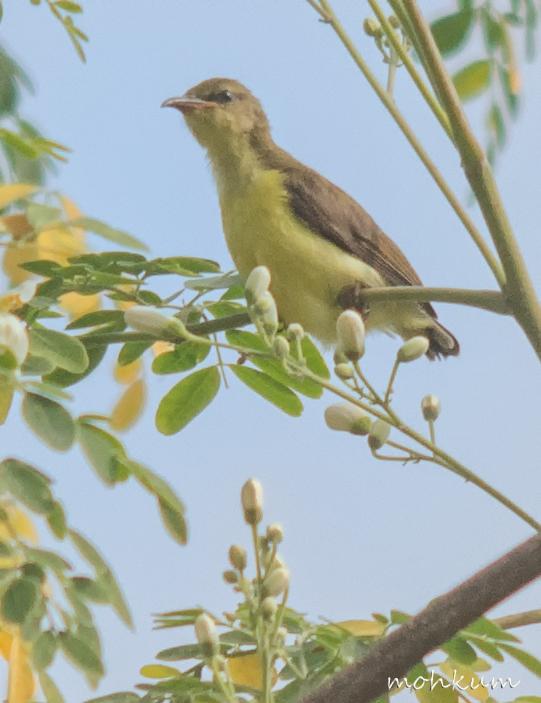 sunbird juvenile