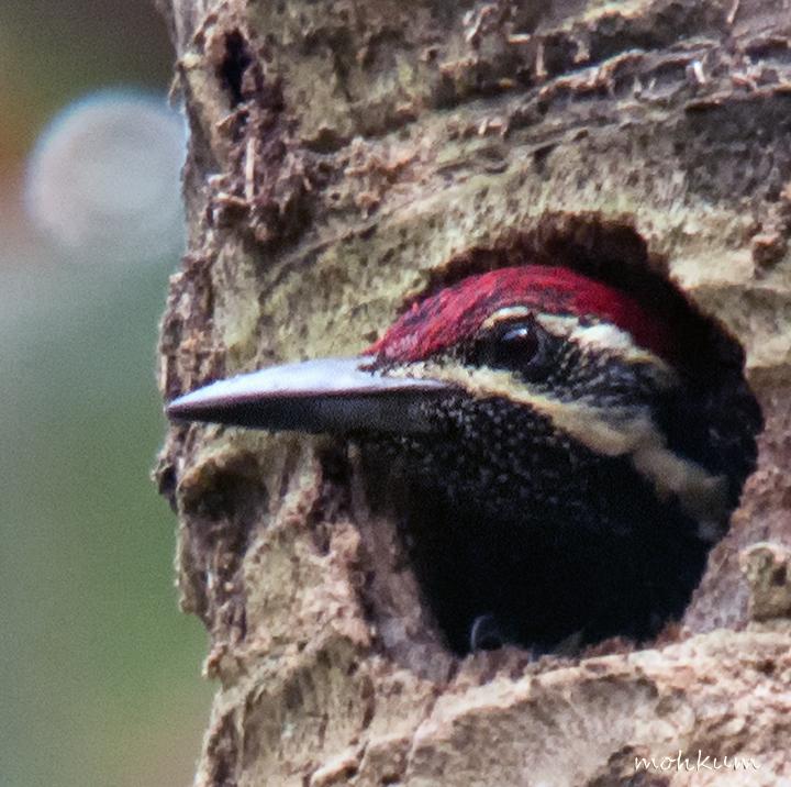 woodpecker juvenile nest tree