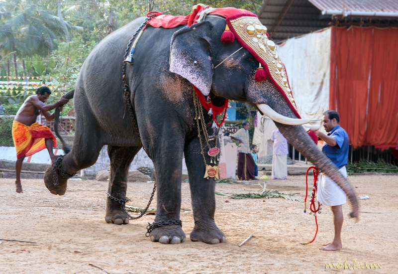 temple festival elephant caparison gold