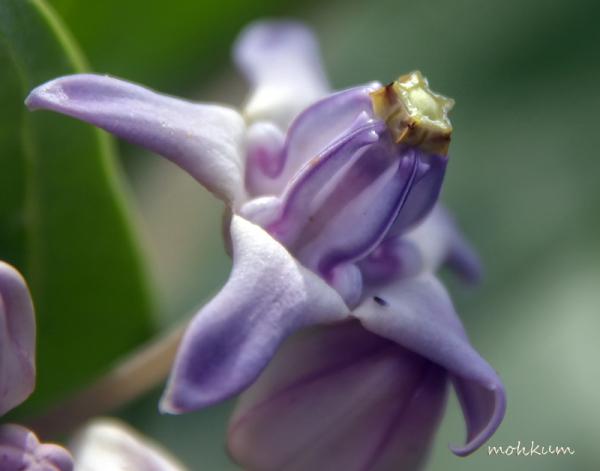 flower calotropis erukku