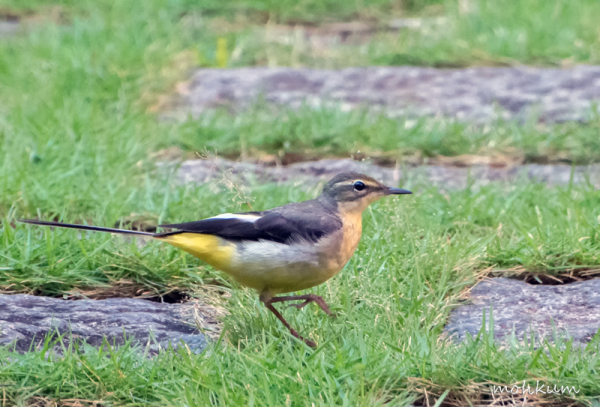 The grey wagtail!