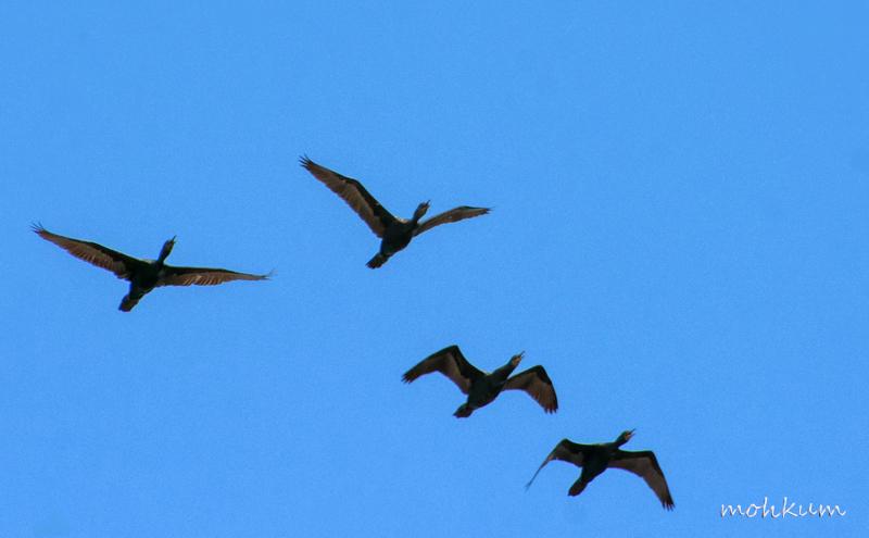 cormorant sky  silhouette