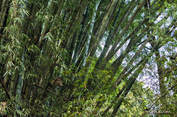 forest wild bamboo chalakkudy