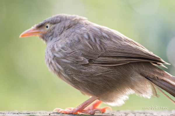 jungle babbler juvenile