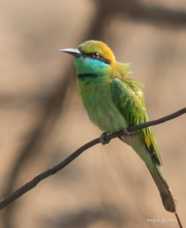 bee eater bluetailed
