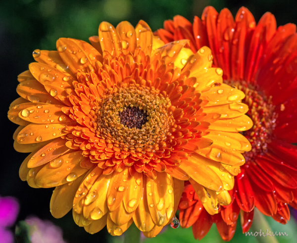 zinnia flowershow kochi