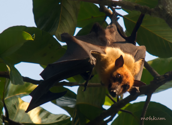fruitbat flyingfox nocturnal