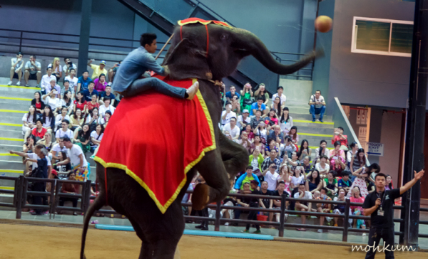 elephant ball throw show thailand