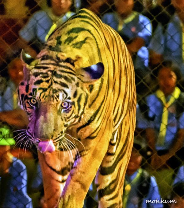 tiger captive anger show thailand