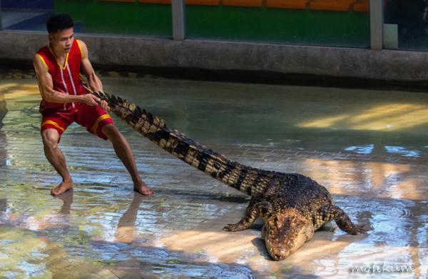 crocodile show thailand