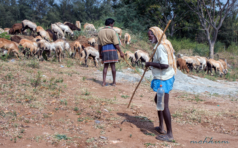 goat herd shepherd valley kambam