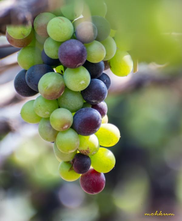 vine yard grape cumbum