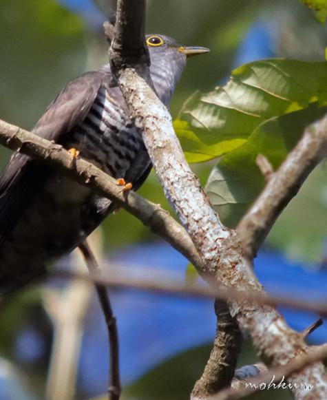 vishupakshi vithum kaikottum indian cuckoo
