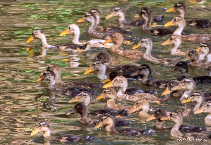 duckling river pumpa plathanam thalavady kuttanad