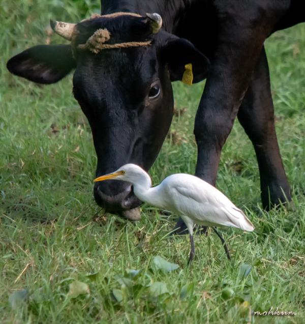 cattle egret farm plathanam thalavady kuttanad