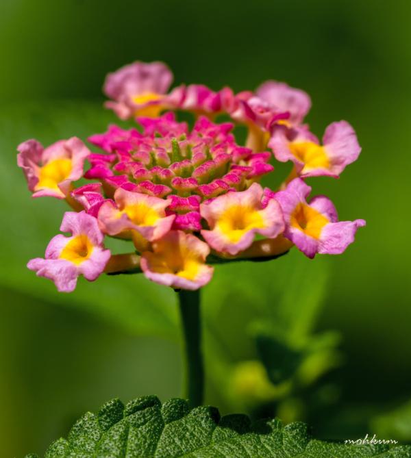flower lantana thattekkad