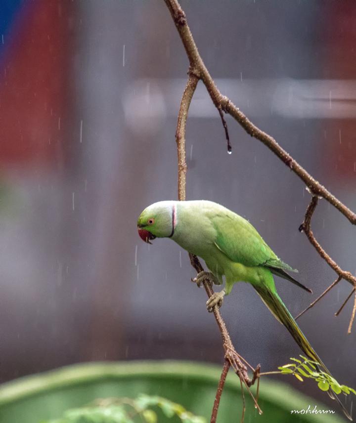 parrot rain