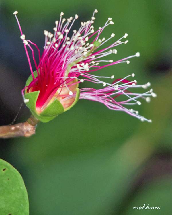 flower mangrove