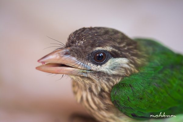 A juvenile Barbet on look...
