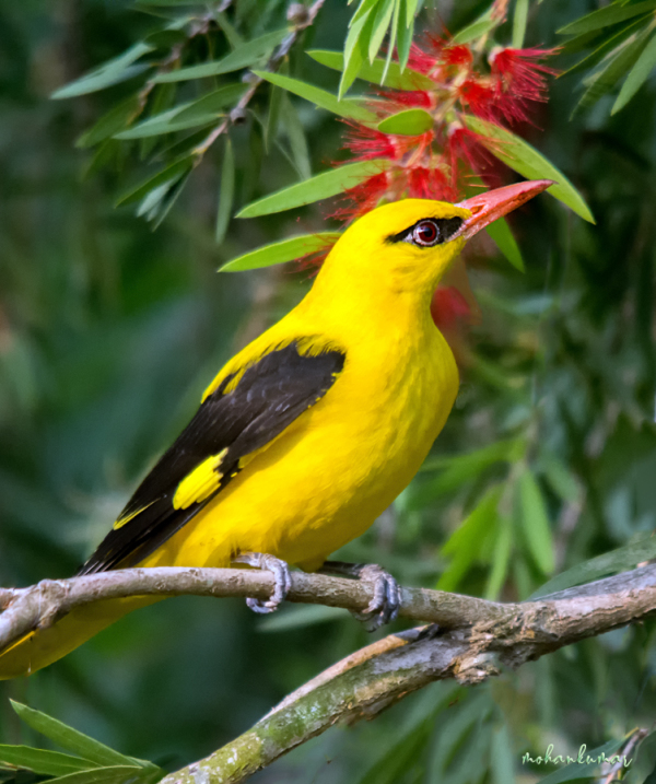 oriole bird yellow migration kerala