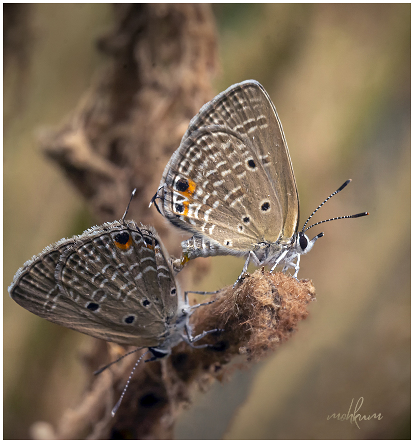butterfly cycadblue mating