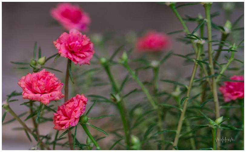 mossrose flower
