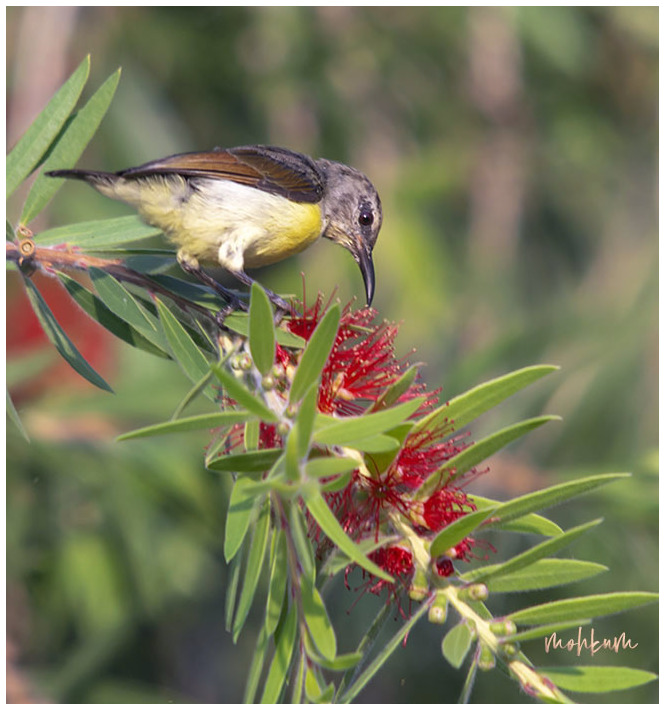 sunbird bottlebrush flower