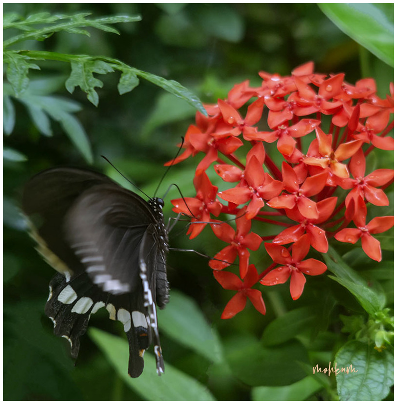 butterfly flower ixora