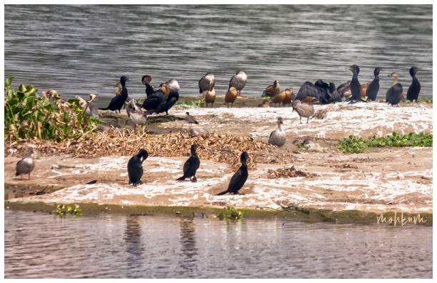 bird ducks lake tenkasi