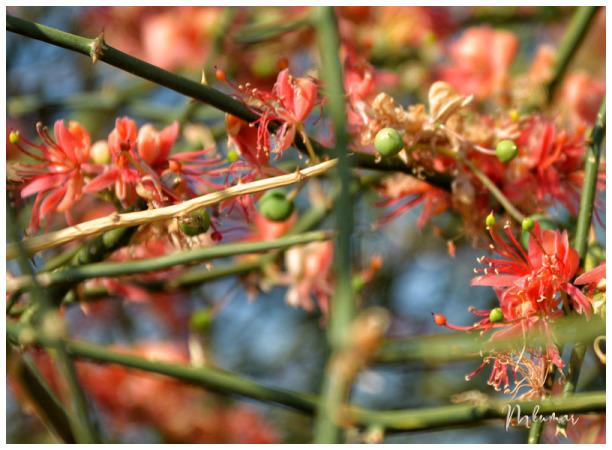 flower rajasthan