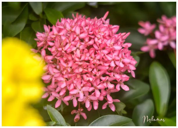 flower ixora coccinea