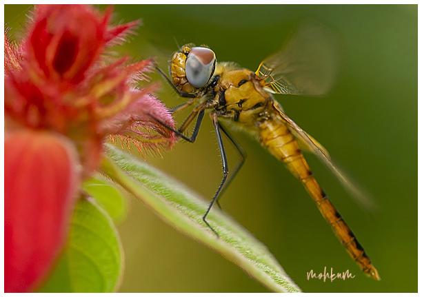 dragonfly mussaenda plathanam  kerala