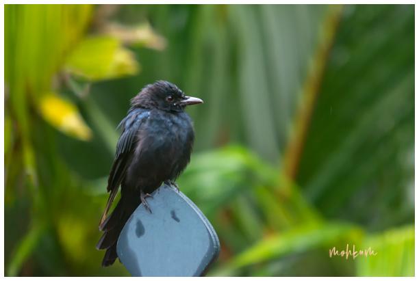 drongo bird